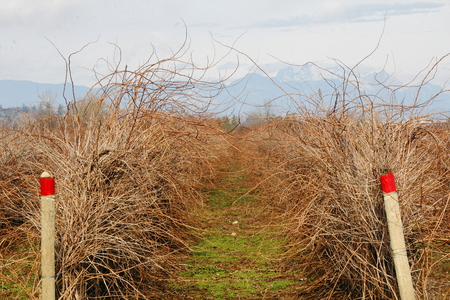 dormant: A dormant winter raspberry field is waiting to be cut and tied.
