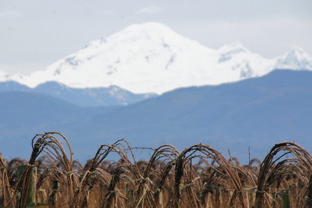mt baker: Snow capped Mt. Baker towers over a field of winter raspberries. Stock Photo