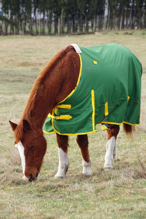 blanket horse: A horse wears a blanket warmer during the chilly winter months Stock Photo