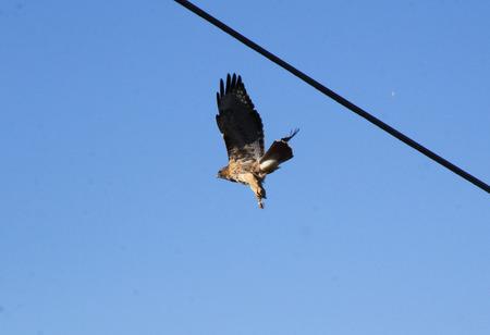 full grown: A Hawk spots prey and takes flight.