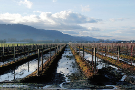 blueberry bushes: Water stands in Rows of Blueberry Bushes