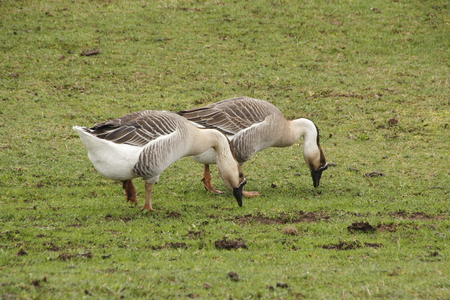 domestic: Two domestic Chinese geese graze in the farm yard.