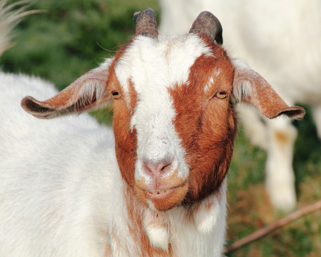 seemingly: A full grown goat with a seemingly Cheshire grin. Stock Photo