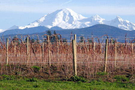 Mount Baker in Washington State overlooks raspberry crops during the winter months. Zdjęcie Seryjne