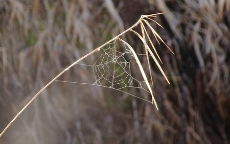 apalancamiento: Una brizna de hierba invierno provee un impulso para una peque�a y delicada tela de ara�a.