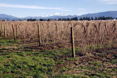 mount baker: Raspberry Crop in winter and Mount Baker in the background