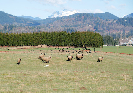 scatter: A flock of blackbirds frighten and then scatter sheep. Stock Photo