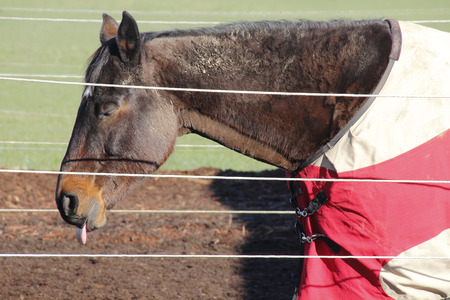 listless: Tired, listless and her tongue hanging out of her mouth, a horse is suffering with Botulism.