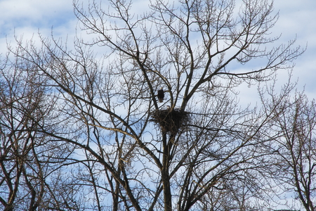 A female eagle sits in a large nest while her mate sits perched nearby.