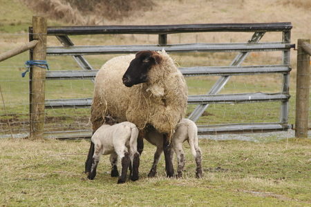 nursing mother: Two lambs are nursing with their Blackface Mother.