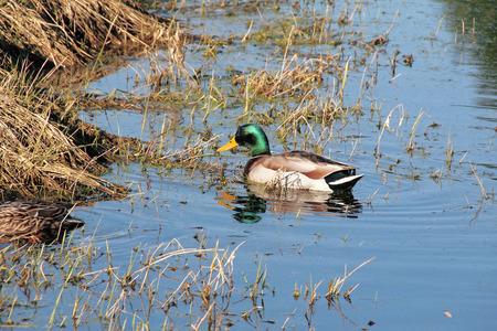 full grown: A male Greenhead Mallard duck feeding on invertebrates during in wetlands.