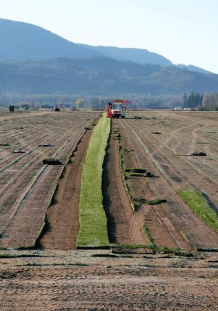 long shot: Campo lungo su una macchina speciale viene utilizzato per rimuovere un sottile pezzo di erba o di erba che sar� venduto per il mercato retail.