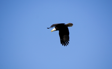 An American Bald Eagle has spotted prey. Stock Photo