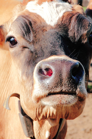 cow teeth: Close frontal view of a brown and white Jersey cow.