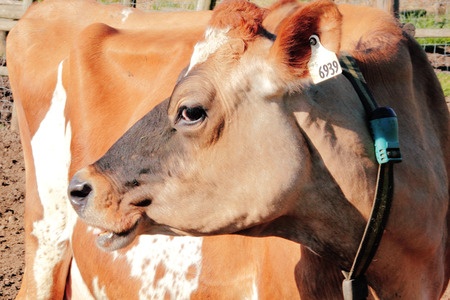 cow teeth: Close profile of a brown and white Jersey cow.