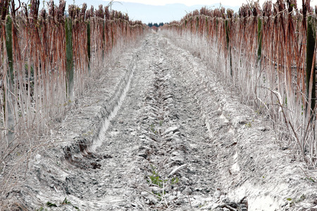 applied: A Washington raspberry crop has lime applied to the soil to improve its acidity. Stock Photo