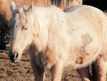 bruised: Bruised and scarred, a neglected horse stands in her corral.