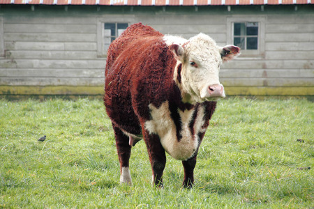 hereford: Hereford is a beef cattle breed, mainly raised for meat production.