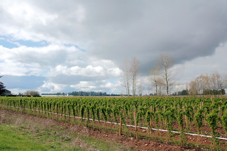 canada agriculture: Raspberry field landscape during the early Spring season
