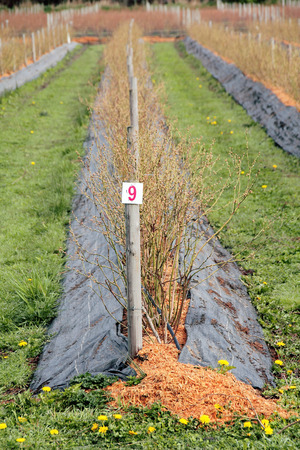 bark mulch: A blueberry crop is protected with plastic sheeting and bark mulch against water saturation.