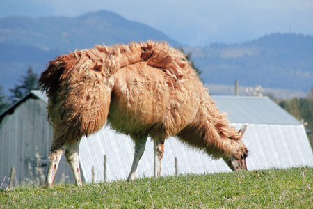 wind blown hair: Llama and Thick coat blows in wind