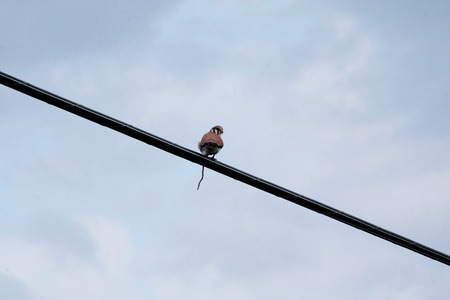 sparrowhawk: A Sparrowhawk perched on a hydro wire, is in the process of building a nest.