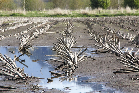 stubble: Corn stubble is all that remains of a successful harvest.