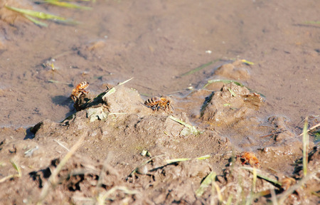 Thirsty bees collect around a muddy pond for water.