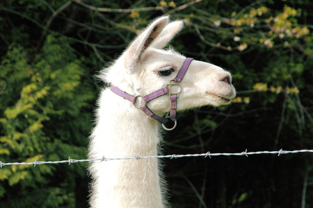 An adult female Llama wears a harness. photo