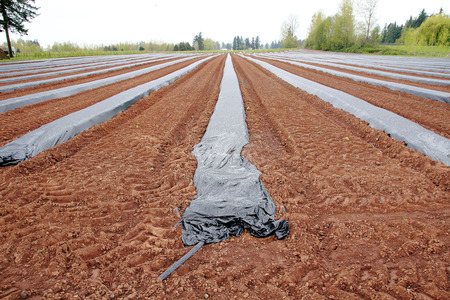 mounds: Plastic is used to keep mounds of dirt dry before planting blueberry plants. Stock Photo