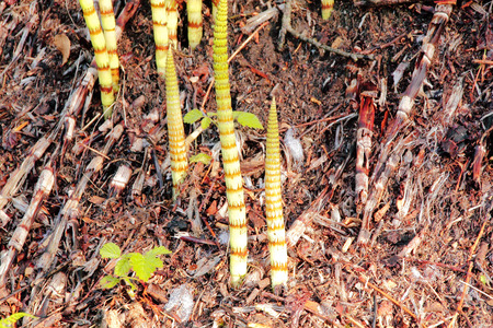 Close on Field Horsetail, a native wild plant that is poisonous and problematic photo