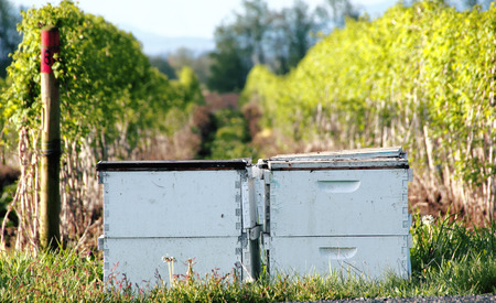 pollinate: Bee boxes are rented by a local Washington farmer to pollinate a berry crop.