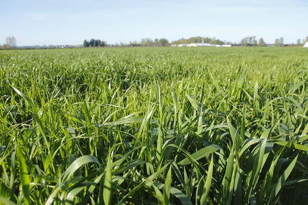 acres: Thick and ripe, acres of grassland will be used for livestock feed.