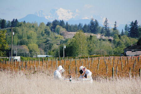 juntar: Apicultores recogen miel cerca de British Columbias Monte Robie Reid