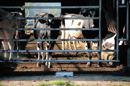 confined: Livestock are seen in a filthy and confined barn