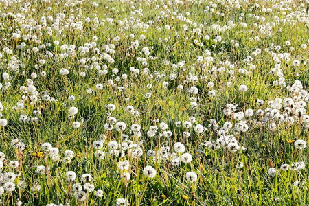 saturated: A field of dandelions has saturated a lawn Stock Photo