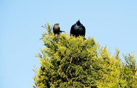 atraer: El macho Starling se hace grande como para atraer a su pareja Foto de archivo