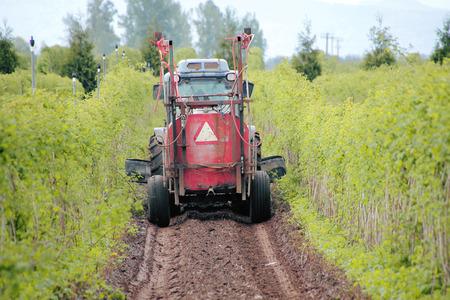 trims: A Washington farmer trims back weeds growing near his raspberry crop.
