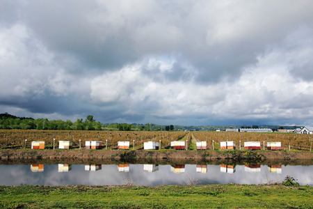 lined up: Bee boxes are neatly lined up beside a blueberry field where bees will pollinate the crop. Stock Photo