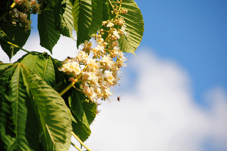 Springtime and bees pollinate flowering Dogwood trees.