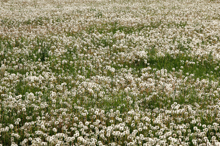 acres: Acres of Spring dandelions covers a grass field.