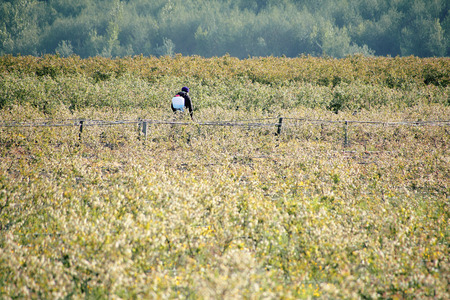 strapped: A farmer uses a plastic container strapped to his back to apply pesticide to his berry crop.