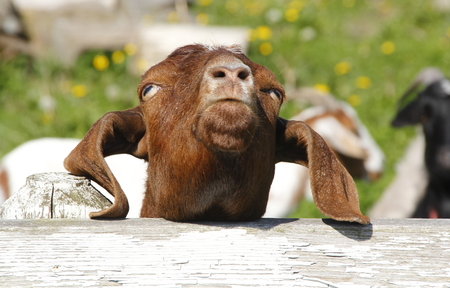 thinking of you: A goat appears to be thinking You must be joking. Stock Photo