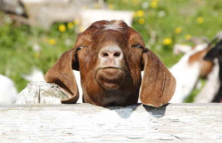 appears: A goat appears to be thinking What are you looking at Buddy Stock Photo