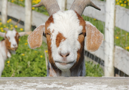 thinking of you: A goat appears to be thinking Are you looking at me Stock Photo