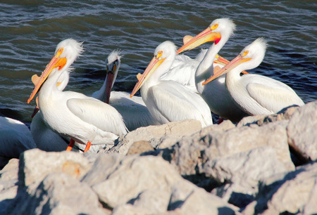 the distinguished: Great White Pelicans during breeding season distinguished by a large bump on their beaks. Stock Photo