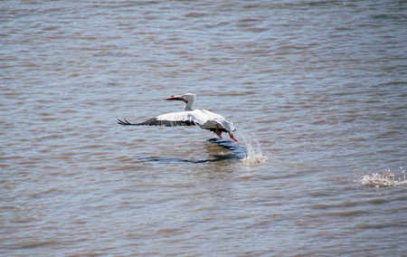 lumbering: A lumbering Pelican one of the largest bird species in North America slowly takes flight.