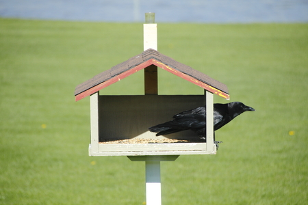 bird feeder: A Black Crow sits in a bird feeder. Stock Photo