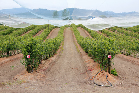 Berry fields are protected with a canopy of netting that  protects the plants from birds and other wildlife.