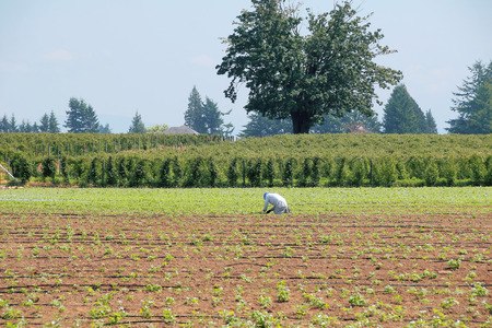 indo: A single Indo Canadian field worker weeds a strawberry field.